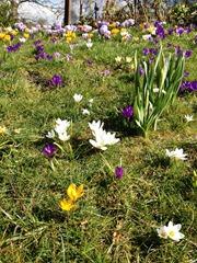 Spring Time Crocus