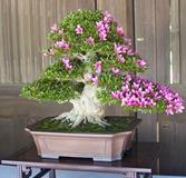 One of many beautiful bonsai