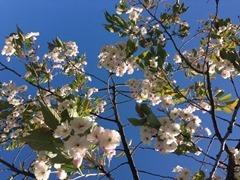 Last of the Pretty Cherry Blossom