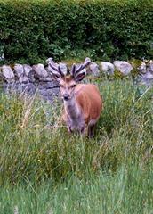 Stag at the Lochranza Campsite