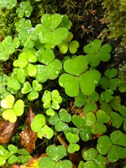 Clover, but none with 4 leaves!