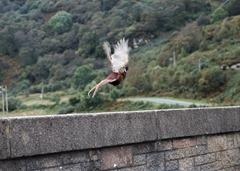 Pheasant in flight!